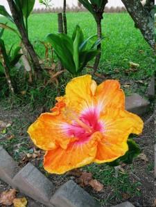 Molokai Hybiscus