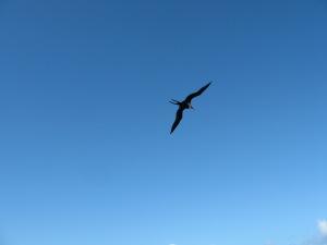 Iwa Bird in Flight
