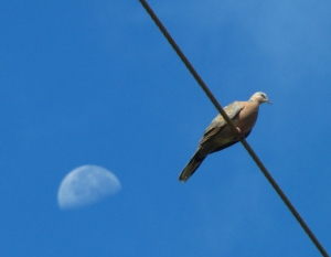 Dove and Moon