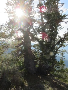 Orb Trees on Pinos