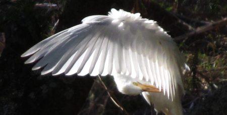 Molokai Egret