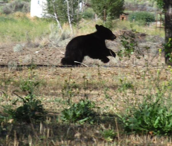 Running Baby Bear!