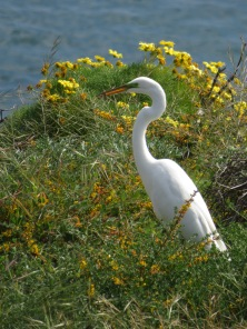 Great Egret with Lizzard