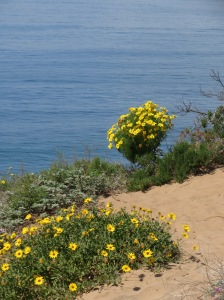 Giant Coreopsis at the Pacific