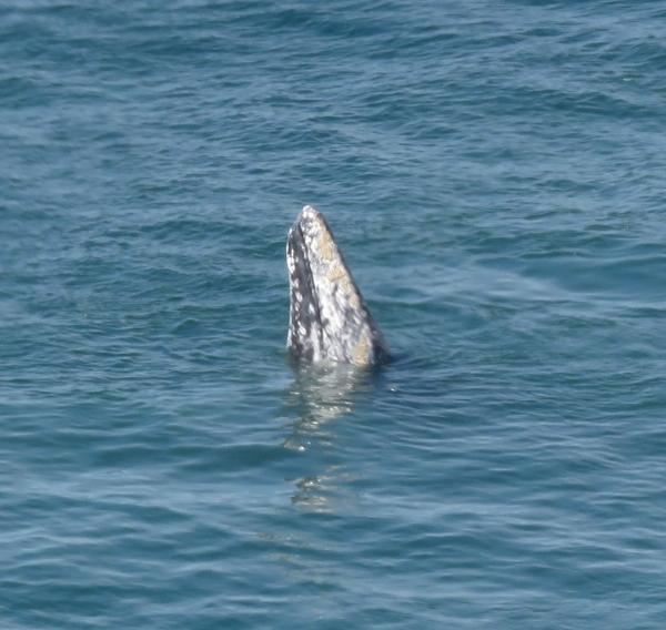Skyhopping Whale -- Pt Dume, Malibu