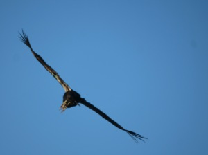 Juvenile Condor on the wing