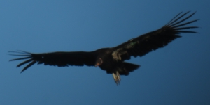 Young Condor in flight