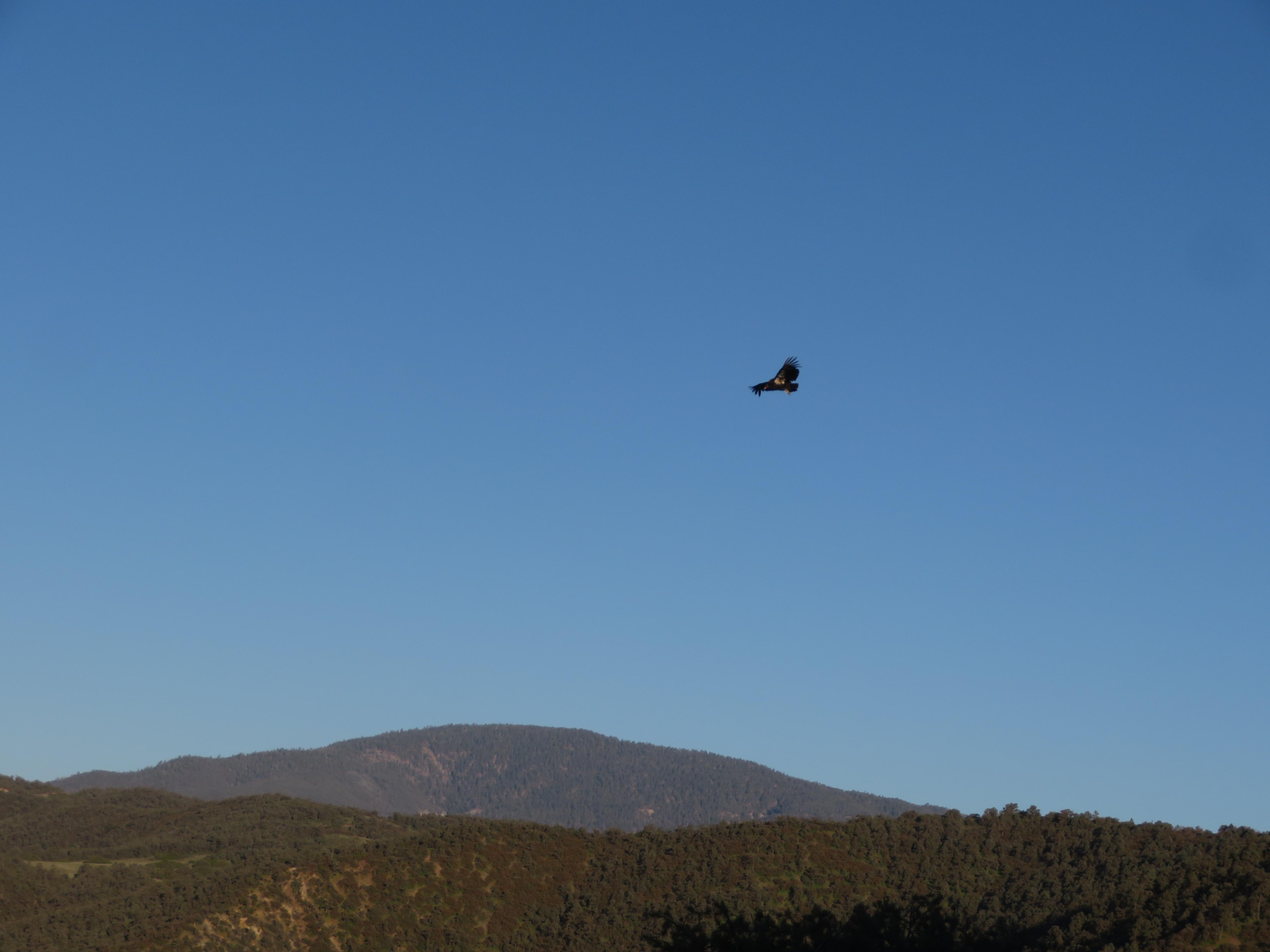 High-fling Condor