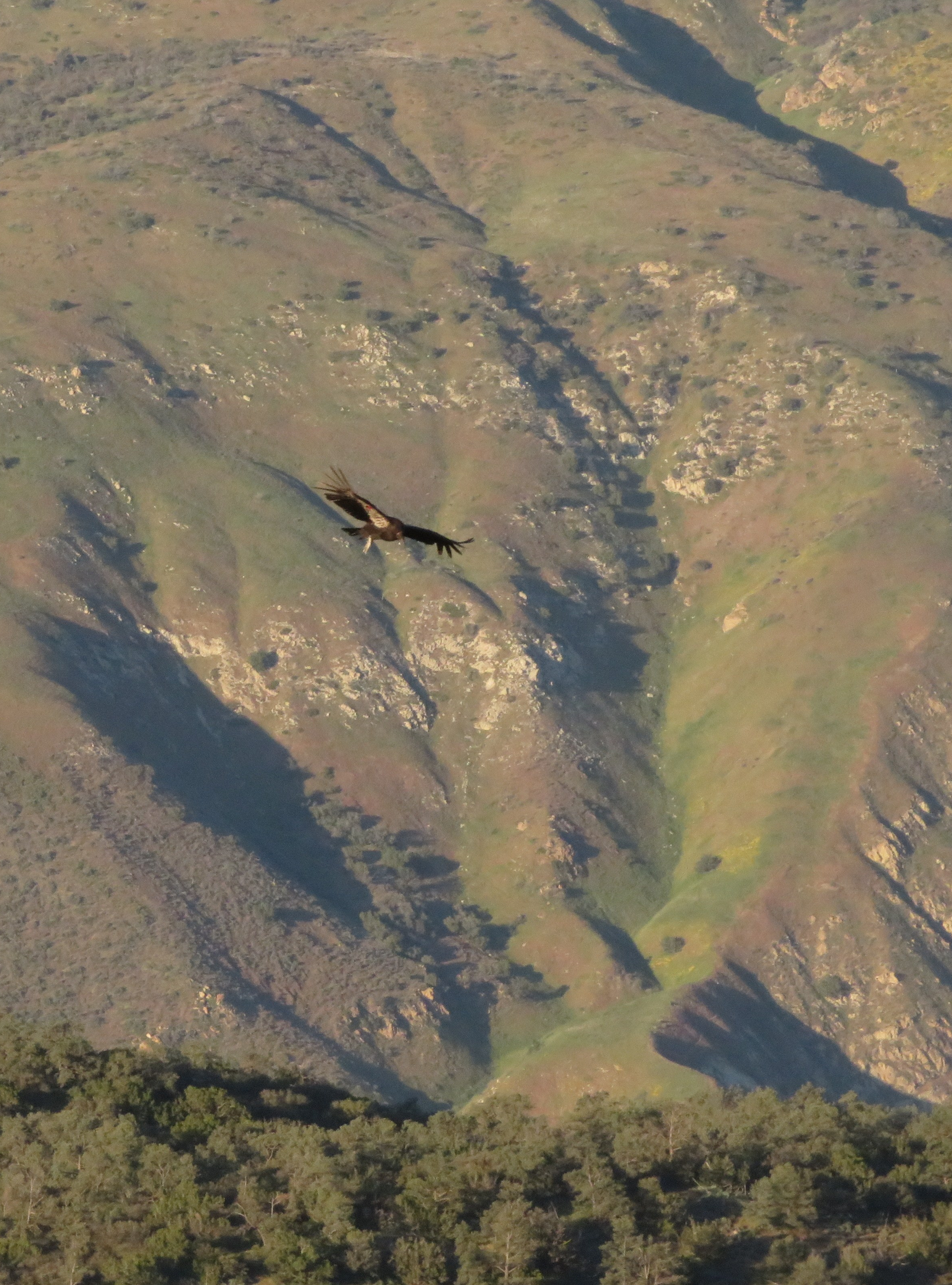 Condor on the wing